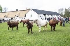 Forårsdag på Karensminde - køerne bliver lukket ud - 29.04.2018