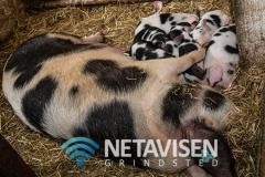 Soen lå fredeligt med sine 9-10 smågrise - Foto: René Lind Gammelmark